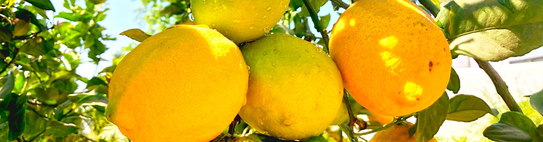 Limoncello-header