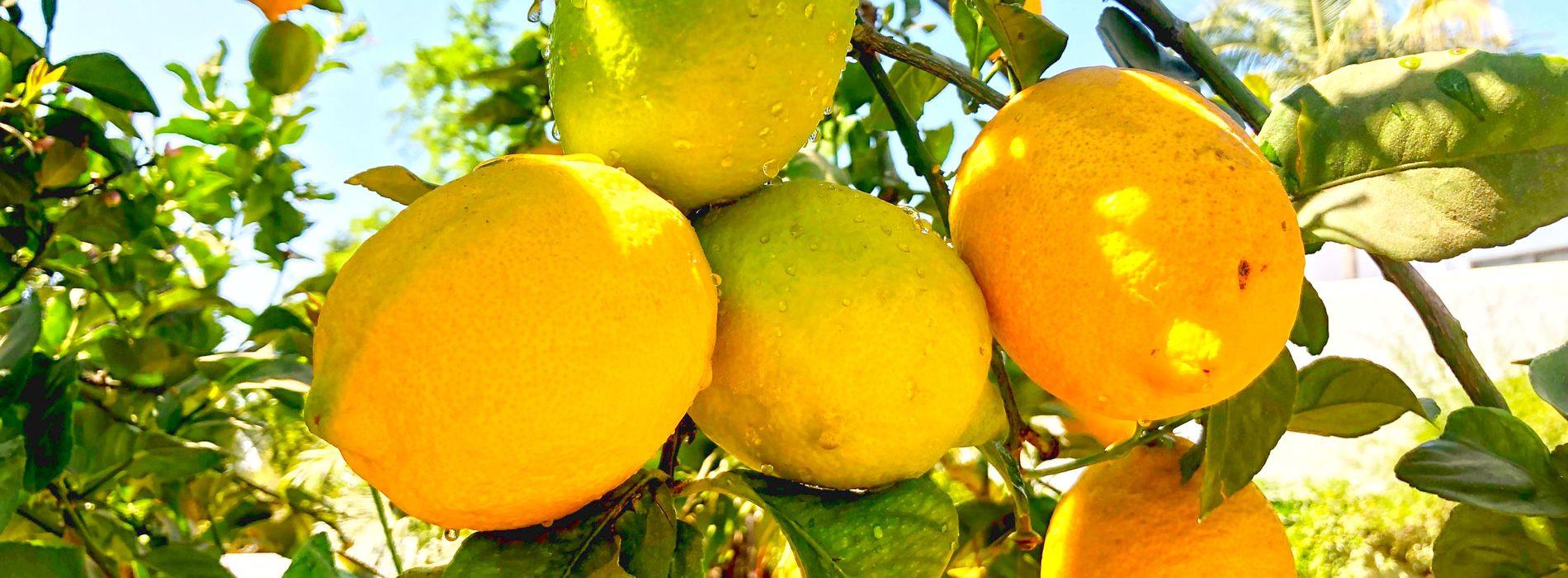 Limoncello-header