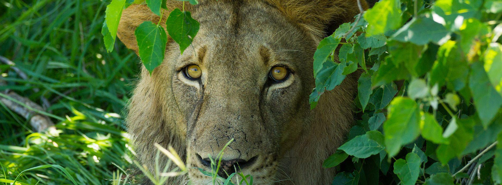 Lion-header